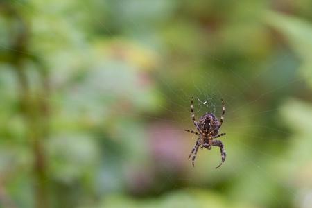 Garden Spider close up on its web photo