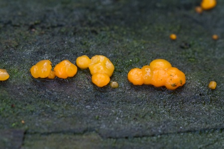 uncultivated: Coral spot fungus growing uncultivated close up Stock Photo