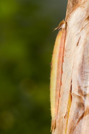 Owl butterfly caterpillar on a tree trunk Reklamní fotografie