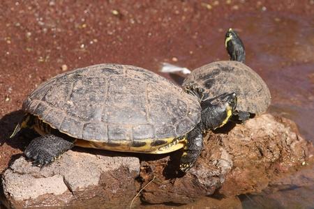 aquatic reptile: Terrapin Aquatic reptile resting on a rock Stock Photo
