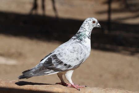 srokaty: Pigeon czarny biały i szary pied gołąb Zdjęcie Seryjne