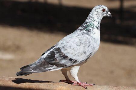 Pigeon black white and gray pied dove Stock Photo - 9111354