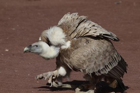 a large bird of prey: Grifone Gyps grandi uccelli da preda closeup