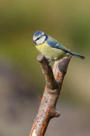 blue tit: M�sange bleue (Parus caeruleus) perch� sur une branche