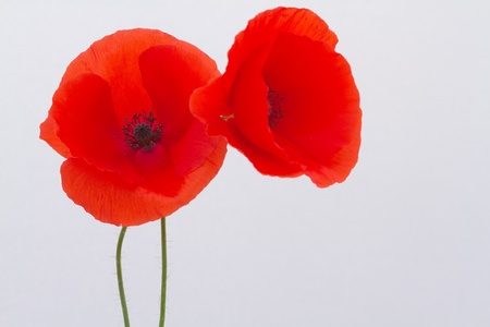 Red Poppy isolated on a white background photo