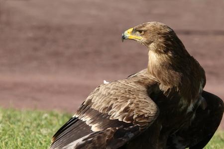 a large bird of prey: Uccello da preda grande aquila marrone closeup Archivio Fotografico