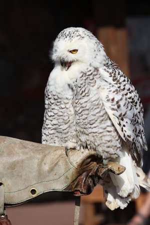 large bird: Snowy Owl large bird of prey closeup Stock Photo