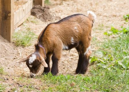 Baby goat Closeup on the farm feeding Standard-Bild