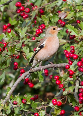 Chaffinch (Fringilla coelebs) perched in a hawthorn edge