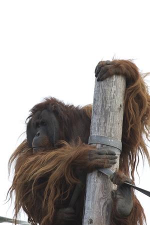 captive animal: Orangutan Big beautiful red ape captive animal