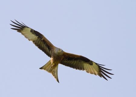Red Kite (Milvus milvus)  in flight in the wild Standard-Bild