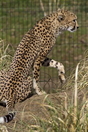 big cat: Cheetah Big cat from Africa resting in the sun Stock Photo