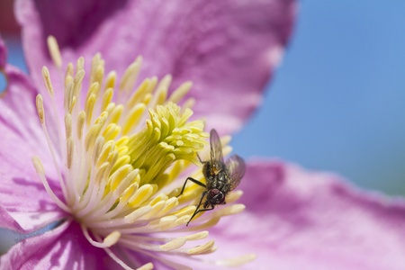 clematis flower: Clematis flower with a Fly perched closeup Stock Photo