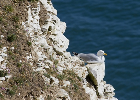 cliff face: Herring Gulls nesting on a cliff face