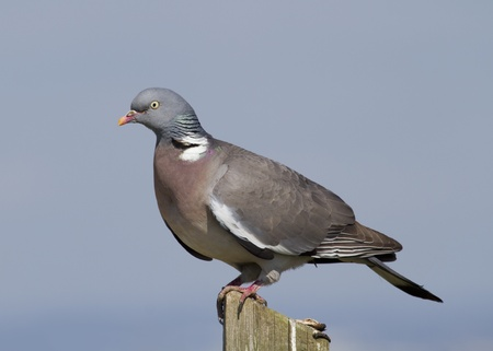 Woodpigeon ( Columba oenas ) Perched on a fence post