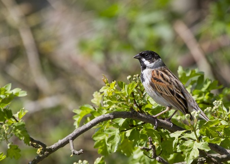 Reed Bunting ( Emberiza schoeniclus ) perched on a tree branch