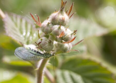 chrysope: Mouche chrysopes se nourrissent d'une bourgeon de la fleur Banque d'images