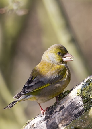 greenfinch: Greenfinch preched on a branch in the wild