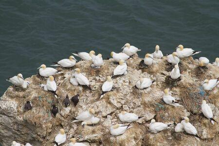 Colonia di sule e altri uccelli di vita selvatica marini Archivio Fotografico - 9906132