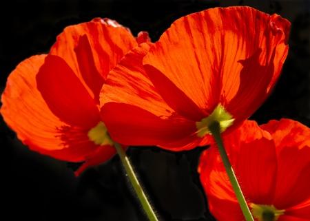 Red Poppy closeup shot into the light