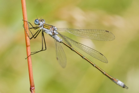 Emerald Damselfly ( Lestes sponsa ) perched on a reed