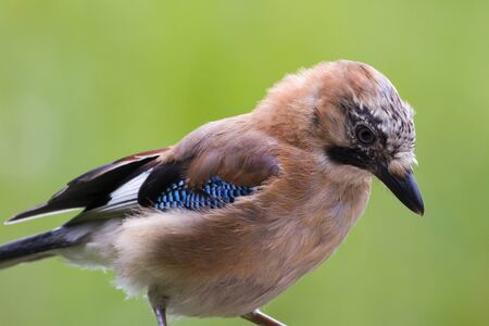 wildllife: Jay ( Garrulus glandarius ) closeup with a green background