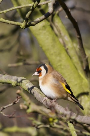 Goldfinch perched on a branch in winter photo