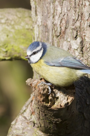 Blue Tit  (Parus caeruleus)  perched on a tree Stock Photo