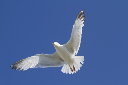 Herring Gull in flight large gull closeup Stock Photo