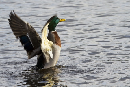 flapping: Mallard Duck flapping its wings in the water