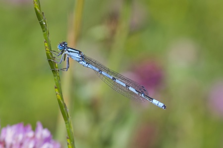 damselfly: Blue Damselfly resting on a grass stem closeup