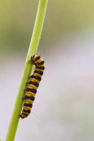 lonicerae: Narrow Bordered Five Spot Burnet  Caterpillar  (Zygaena lonicerae) Stock Photo