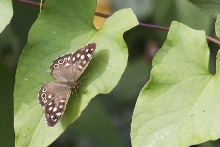 speckled wood butterfly (Pararge aegeria) perched on a leaf Stock Photo - 12109808