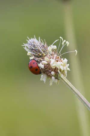 Ladybird Looking for food on a flower