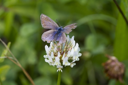 Common Blue Butterfly (Polyommatus icarus) is a small butterfly in the family Lycaenidae. Stock Photo - 12110673
