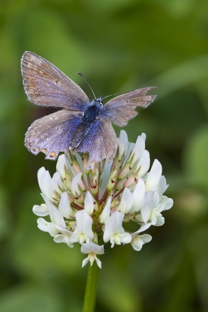 lycaenidae: Common Blue Butterfly (Polyommatus icarus) is a small butterfly in the family Lycaenidae.