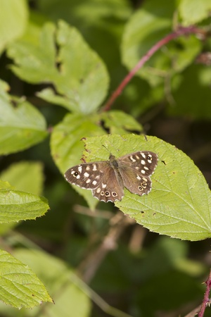 speckled wood: speckled wood butterfly (Pararge aegeria) perched on a leaf