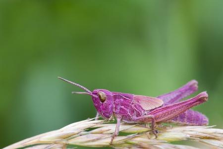 Rosa Grasshopper auf einem Grashalm closeup thront