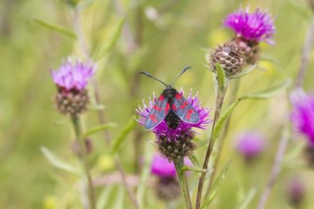 lonicerae: Narrow Bordered Five Spot Burnet  (Zygaena lonicerae) Stock Photo