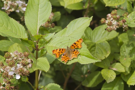Comma (Polygonia c-album) Butterfly resting on a leaf Stock Photo