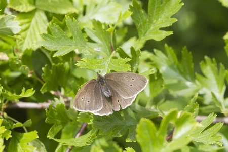 ringlet: Ringlet butterfly (Aphantopus hyperanthus) perched on a leaf