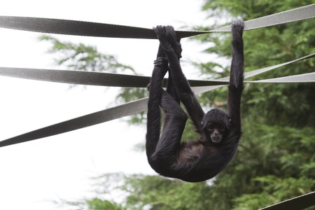 Black Spider Monkey ( Ateles paniscus)  playing on rope