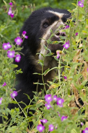 spectacled: Spectacled Bear peeping through some wild flowers