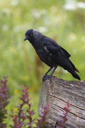Jackdaw (Corvus monedula) perched on a log Stock Photo - 12415349