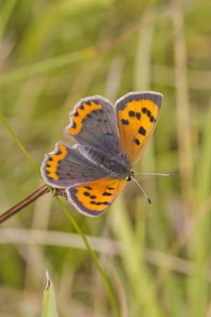 Small Copper butterfly (Lycaena phlaeas)  perched closeup