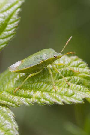green shield bug: Green Shield bug  (Palomena prasina) perched on a leaf