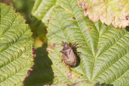 shield bug: Shield bug perched on a leaf closeup