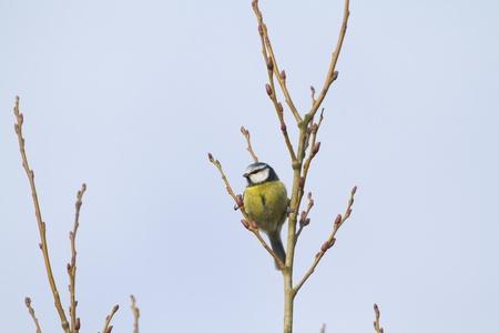 caeruleus: Blue Tit (Parus caeruleus) perched in a tree