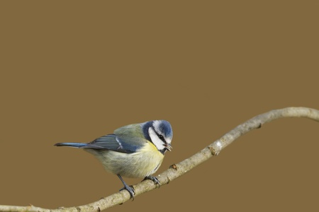 caeruleus: Blue Tit (Parus caeruleus) posado en una rama