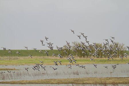 brent: Brent Goose (Branta bernicla)  in flight over water